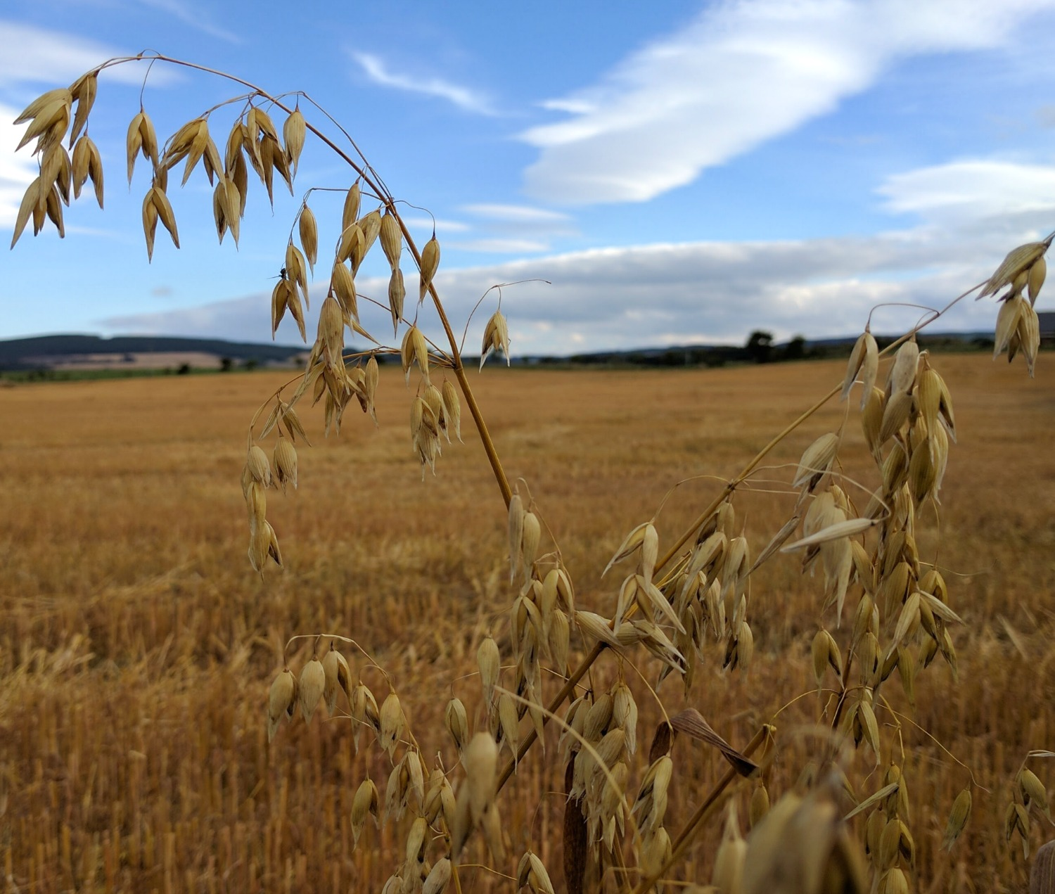 Scottish home-grown food. The field of oats has just been harvested and only some stray plants on the edge of the field missed the combine harvester's cutter-bar.
