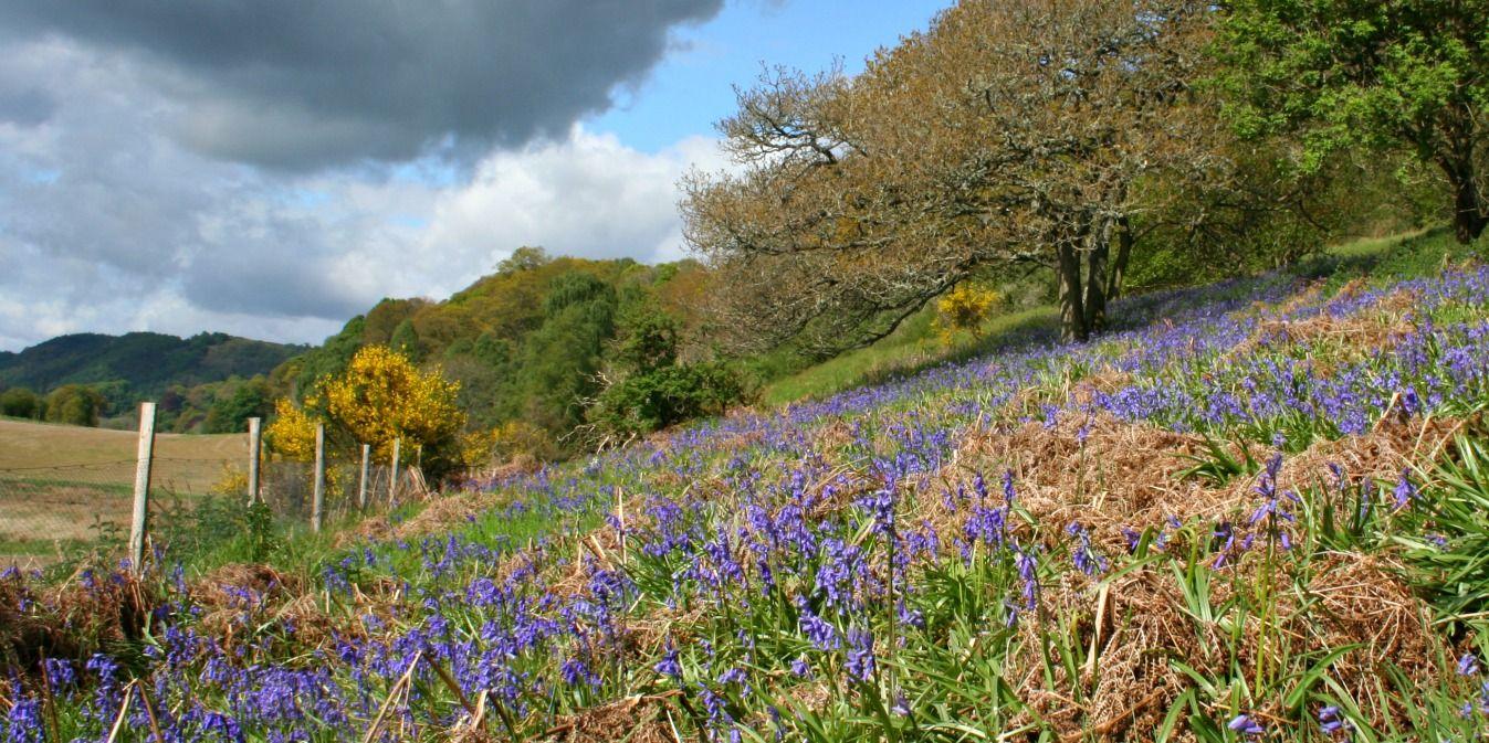 Bluebells - but not Scots bluebells - near Trowan, west of Crieff, Perthshire