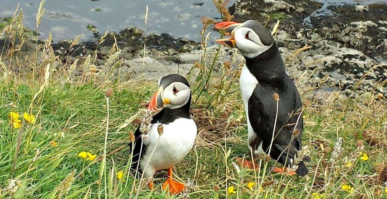 Puffins on the island of Staffa, accessible by boat trips from  Mull .