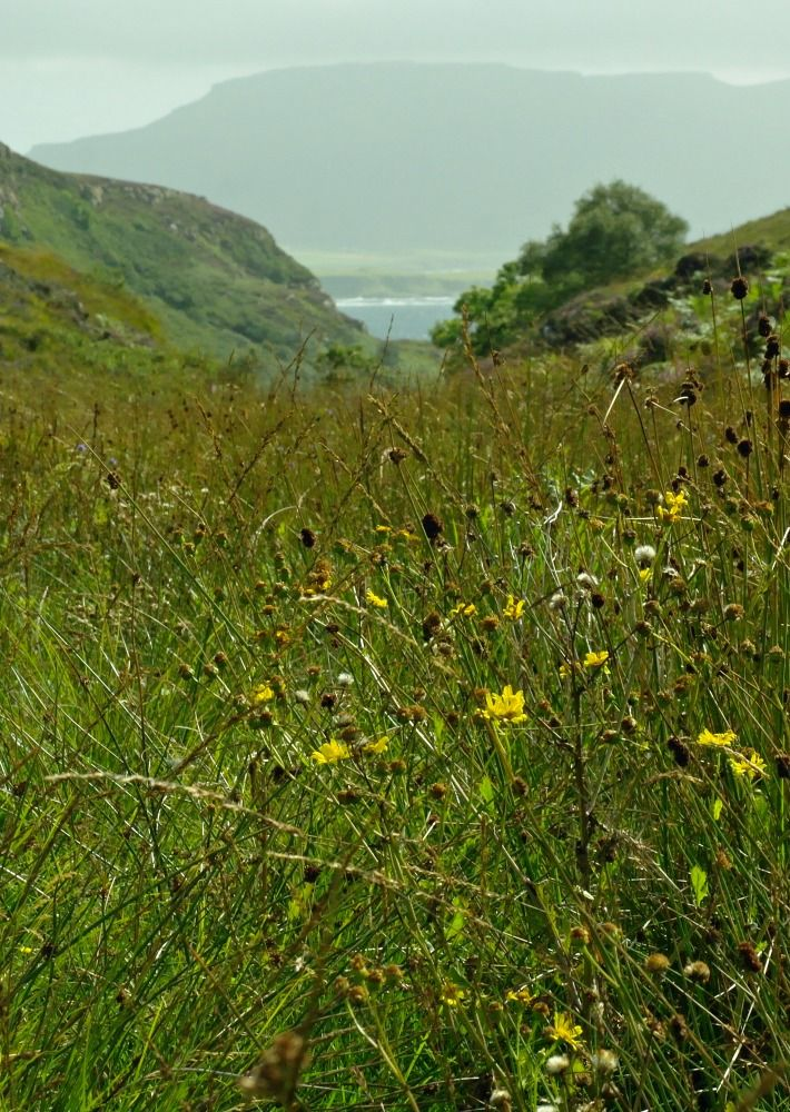 Ticks in Scotland - typical habitat.  Pictured here is a lush growth of vegetation in late summer. Typical tick habitat in Scotland. Photographed on Ulva, Mull, as it happens, but it could be anywhere. (Actually, this isn't fair. I never got a tick on Ulva!)