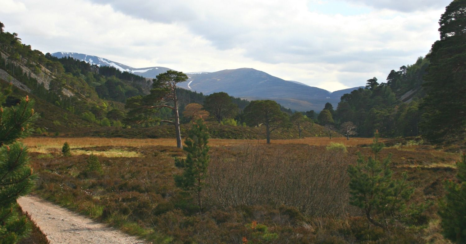 There is an extensive path network around the pinewoods on the lower slopes of the Cairngorms in Speyside. This path is near An Lochan Uaine - the green lochan enar Glenmore Lodge.