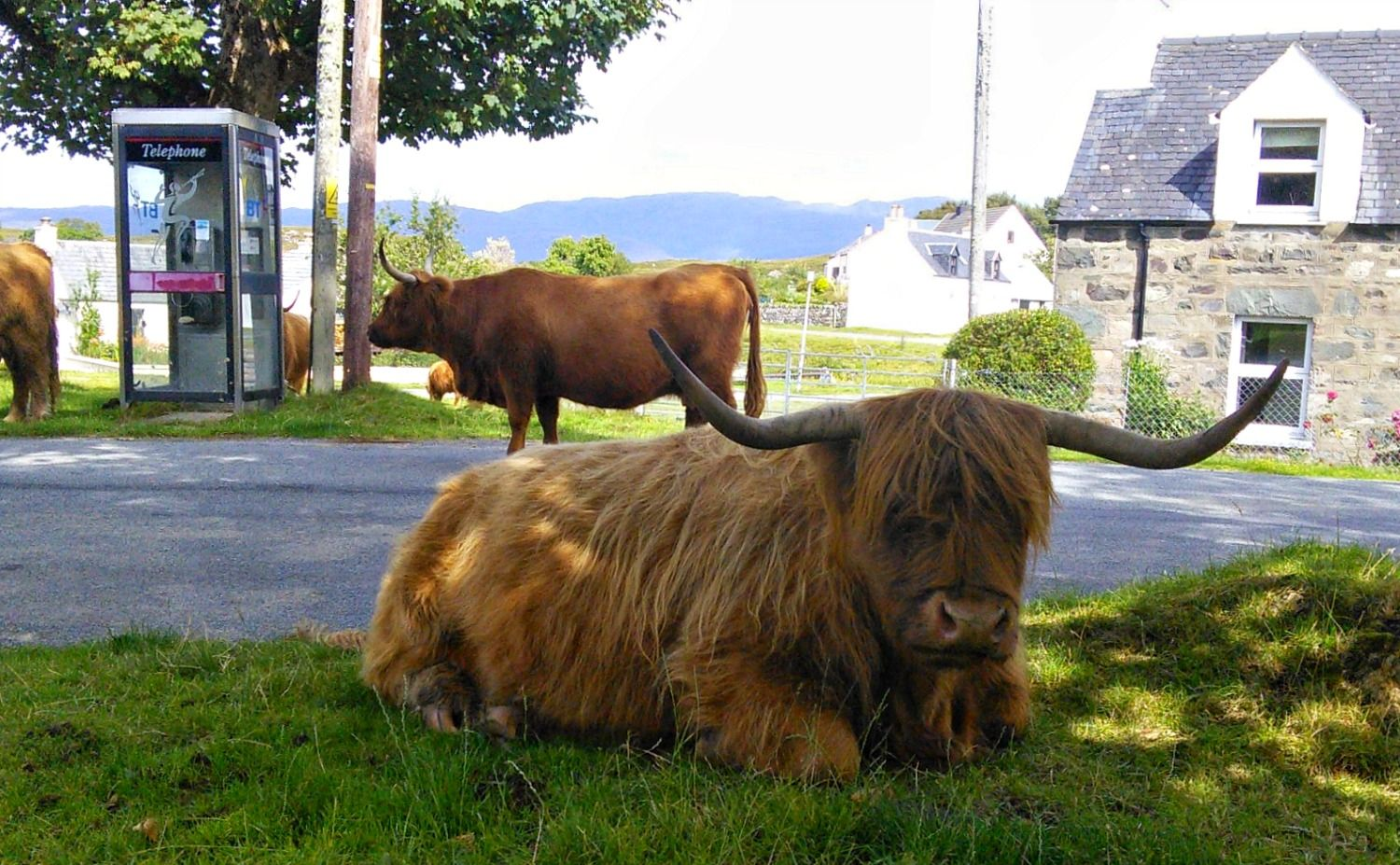 Very few Highland cows own their own smartphones, as the buttons are too small for their hooves. So they have to hang around public phone boxes if they want to get in touch with other cows or their coworkers. This is a typical scene in Duirinish in the north-west Highlands.