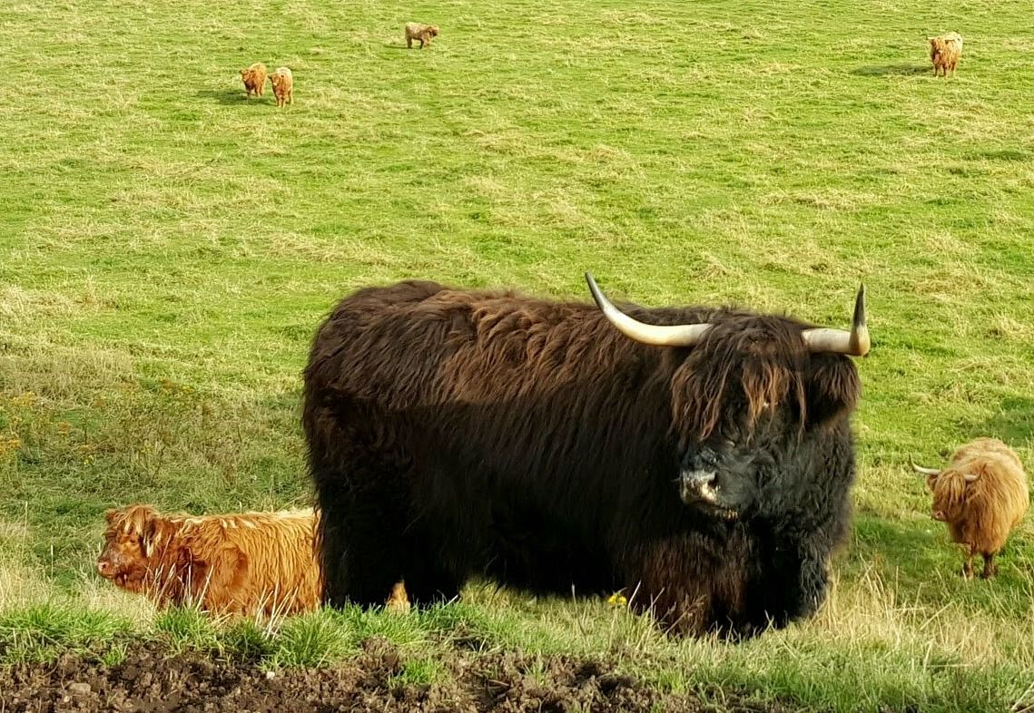 A black-ish Highland cow looking completely indifferent to the fact that Queen Victoria might not have liked her. (See below.)