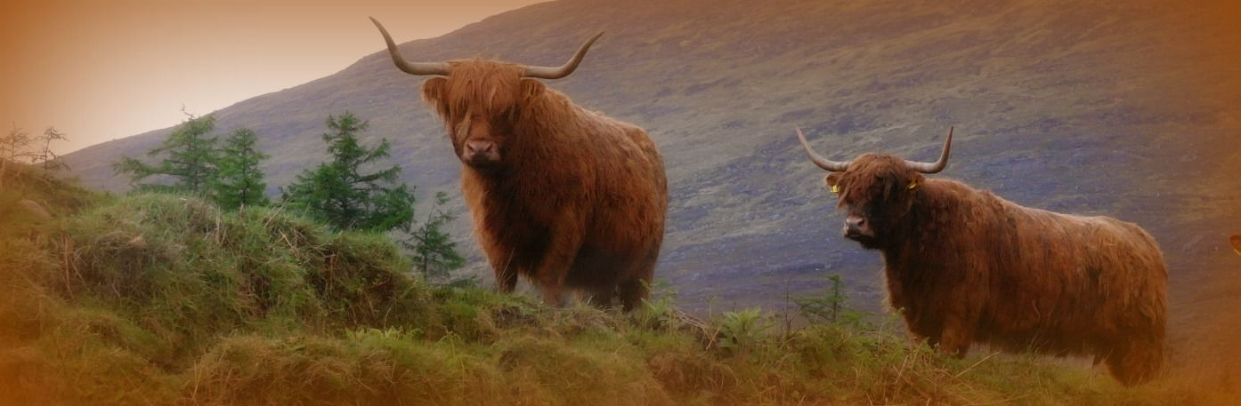 Where To See Highland Cows Aka Hairy Coos