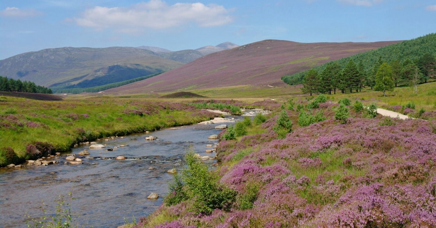 Heather in Glen Derry, Aberdeenshire, in full bloom. Note the purple hill in the middle distance and the higher bare tops of the Cairngorms beyond - where the exposure means that even heather won't grow.