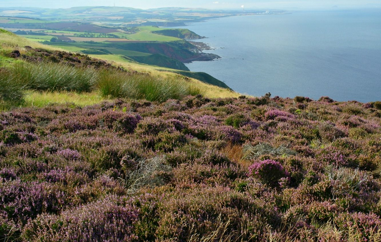 Heather by the sea. Poor soil, exposed site - yes, no surprises common heather makes its home here. Scottish Borders, beyond  St Abbs.