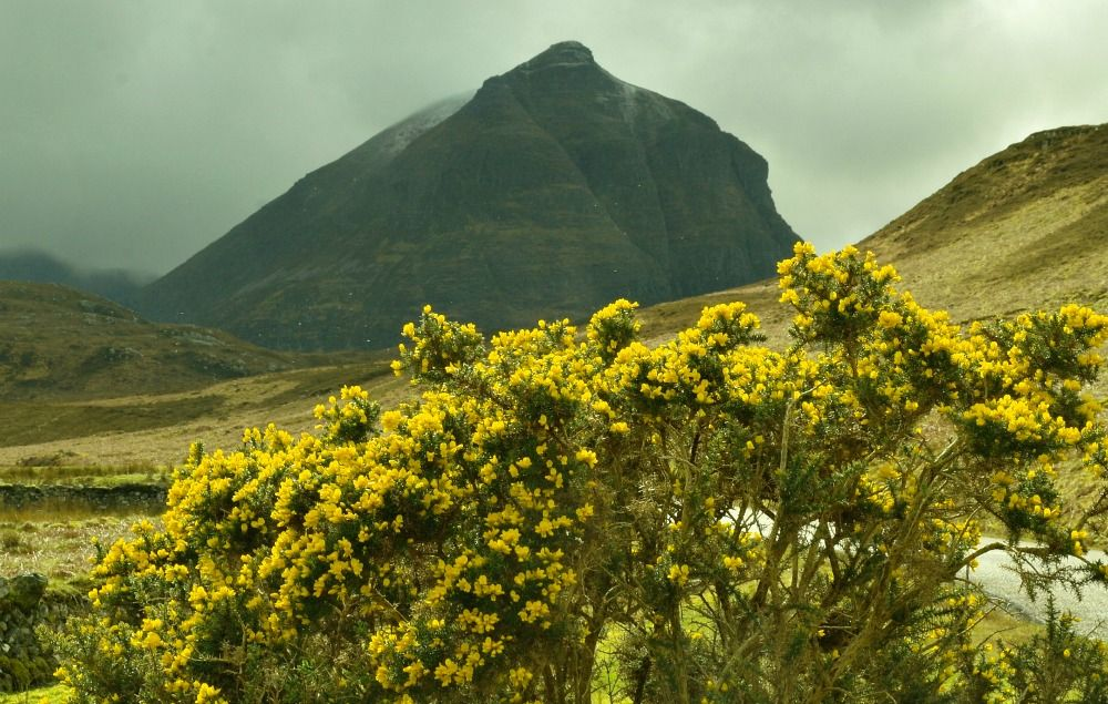 The mountain called Quinag in the North-West Highlands. Main road just behind the flowering gorse bush.