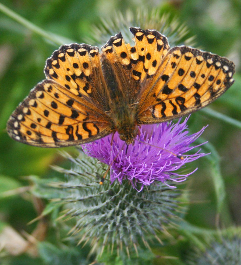 dark-green-fritillary-thistle-compressor.jpg