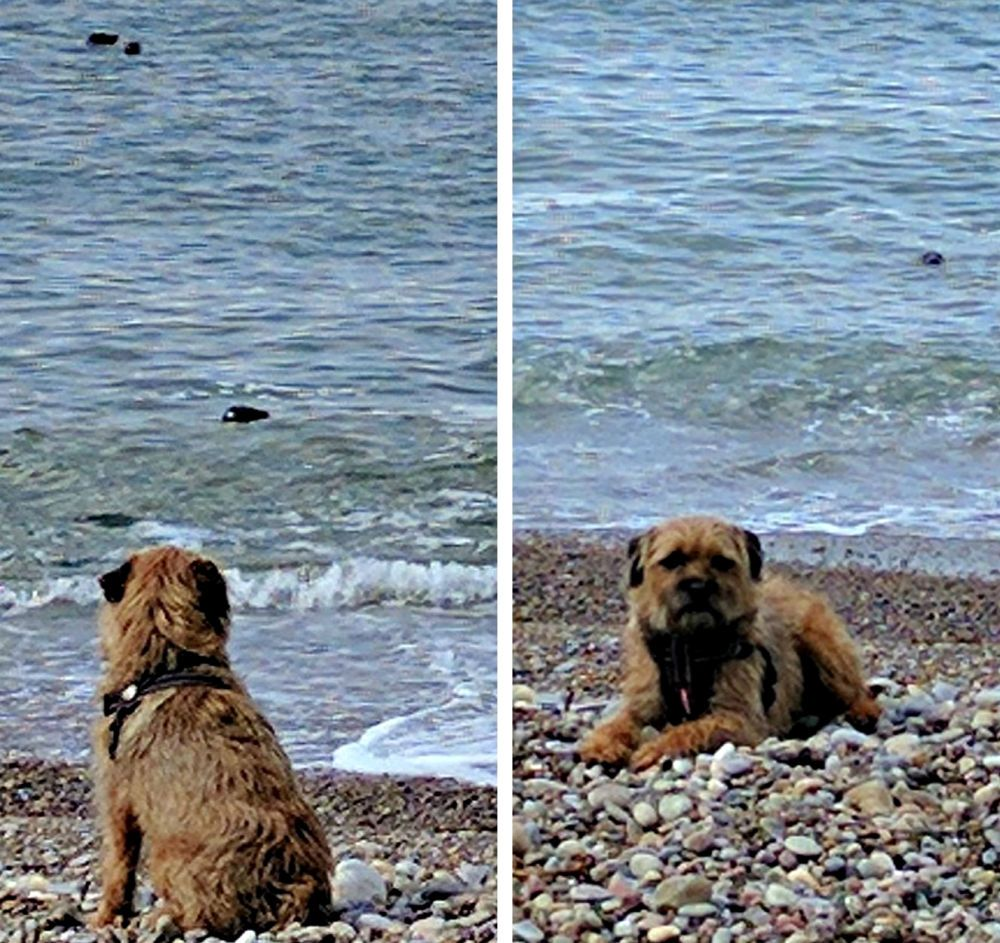 Even a local dog seal-watching gets bored - because he's a Boreder terrier perhaps. The seals remain interested though. (For 'local dog' read 'our dog'.)
