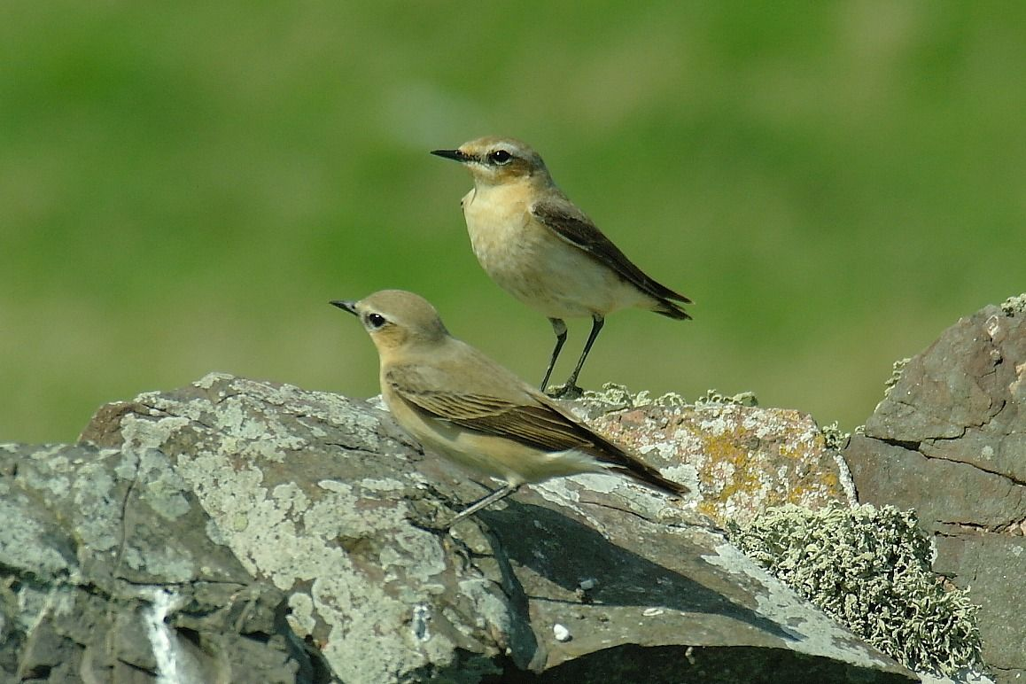 Aren't wheatears handsome? Eyemouth, Scottish Borders. DATE 24 April 2011. And it was a lovely day on the walk from Burnmouth to Eyemouth. Click the picture for more details on that route. You'd enjoy it.