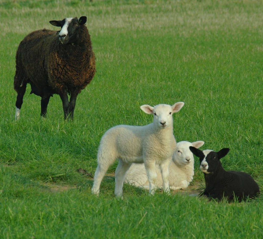 Clearly, at least one of these lambs belongs to the mummy sheep in the picture. Two minutes from the main A1, Scottish Borders. DATE 21 April 2011.
