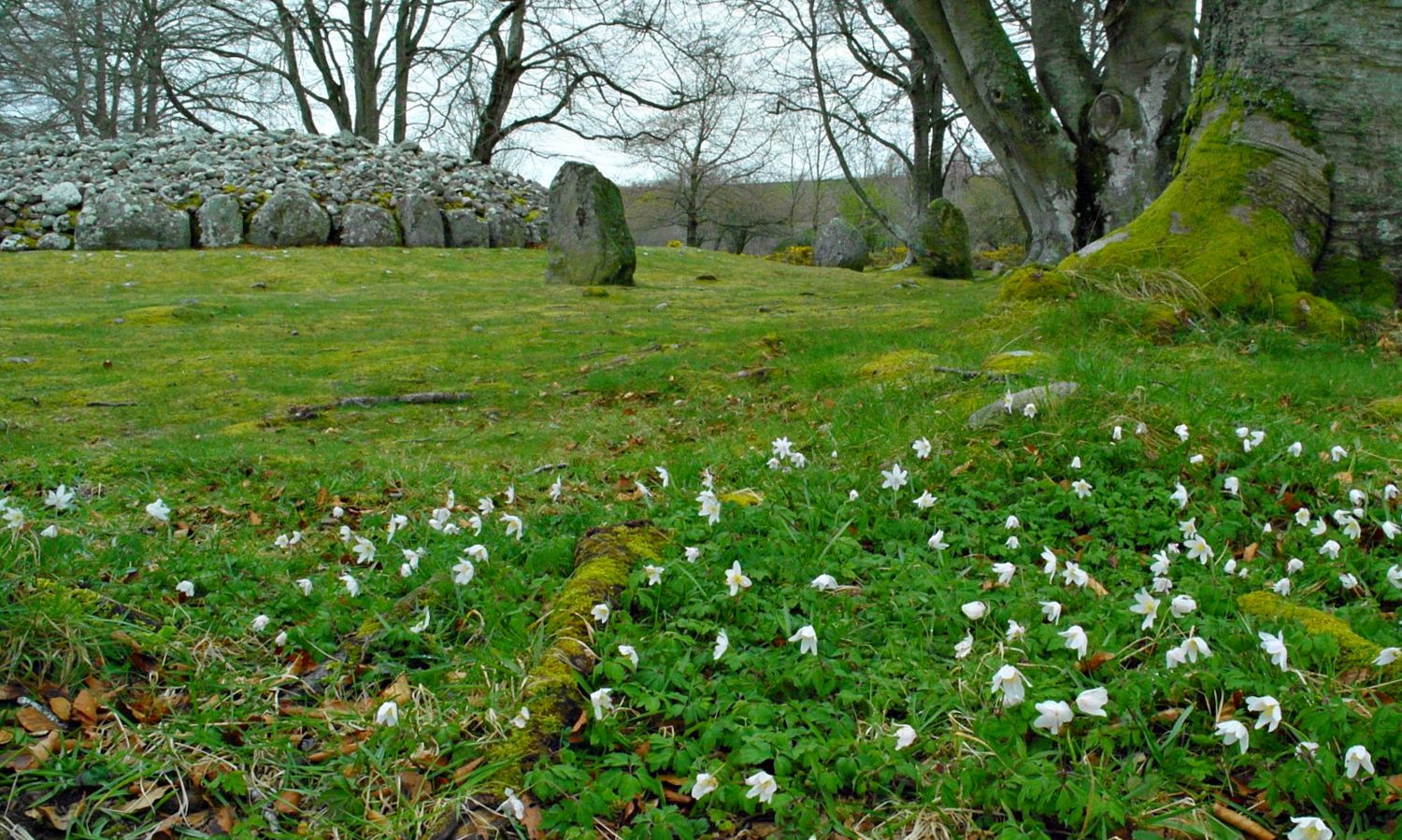Wood anemone and the Clava Cairns