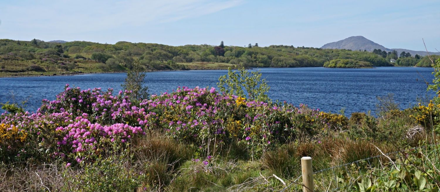 Near Recess, Co Galway. It looks like Ireland has the same problem with  rhodendron ponticum  as Scotland .  Mauve flowers are pretty but it's invasive and a killer of native species. (Wait, this isn't the place to be on an environmental high horse…)