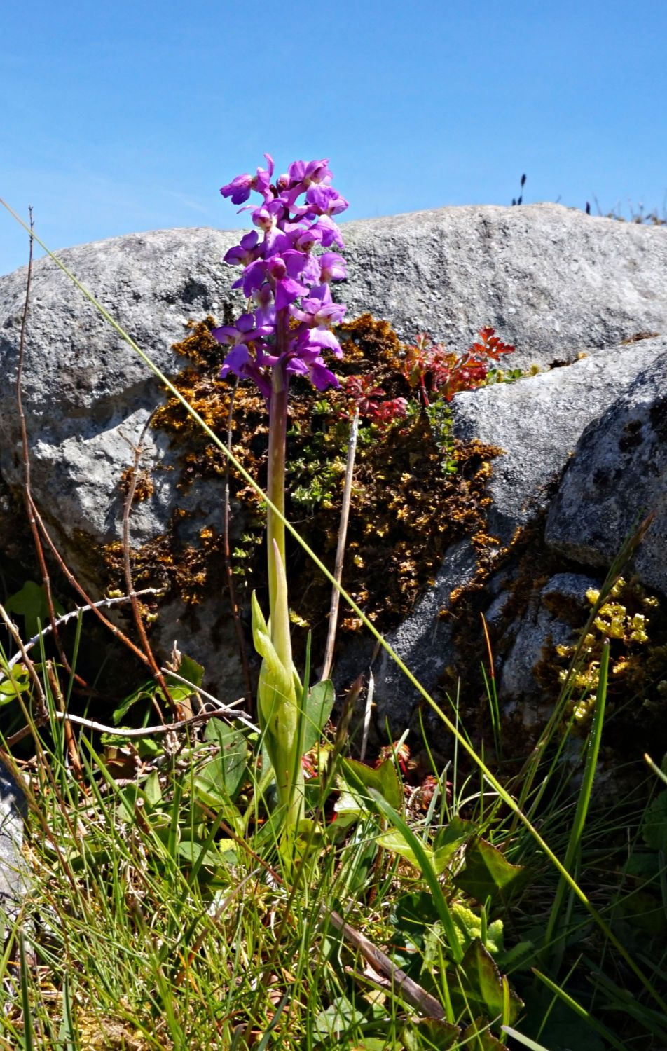 There are 20+ orchid species in The Burren. This might be the early purple orchid, but mostly only because it was early (in May) and it's kinda purple. Then again, it might be some other orchid.