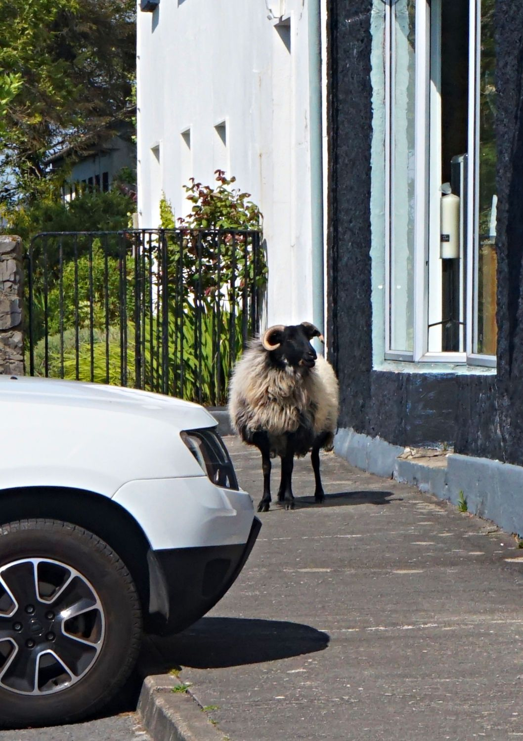 Sheep administrator waiting outside craftshop. He wants in to check that all sheepskins for sale came from sheep that were carrying donor cards at the time of donation. (NB May also apply to squirrels and artists' brushes.)