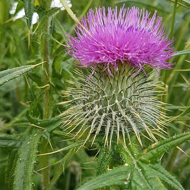 #scottish #thistle - more about the #flowers of #Scotland here https://must-see-scotland.com/flowers-of-scotland