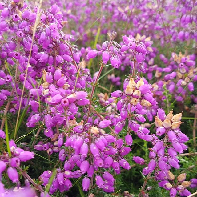 #heather out now - August in #moray