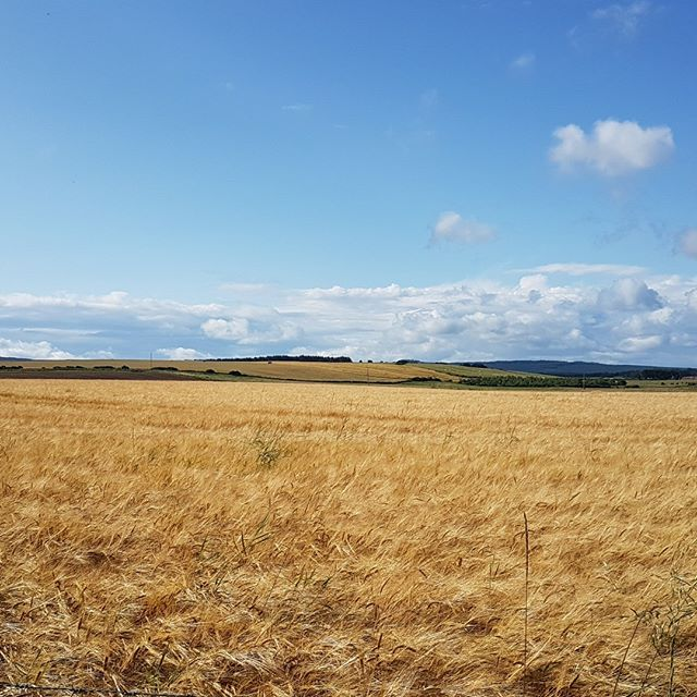 The barley is getting ripe #moray #scotland