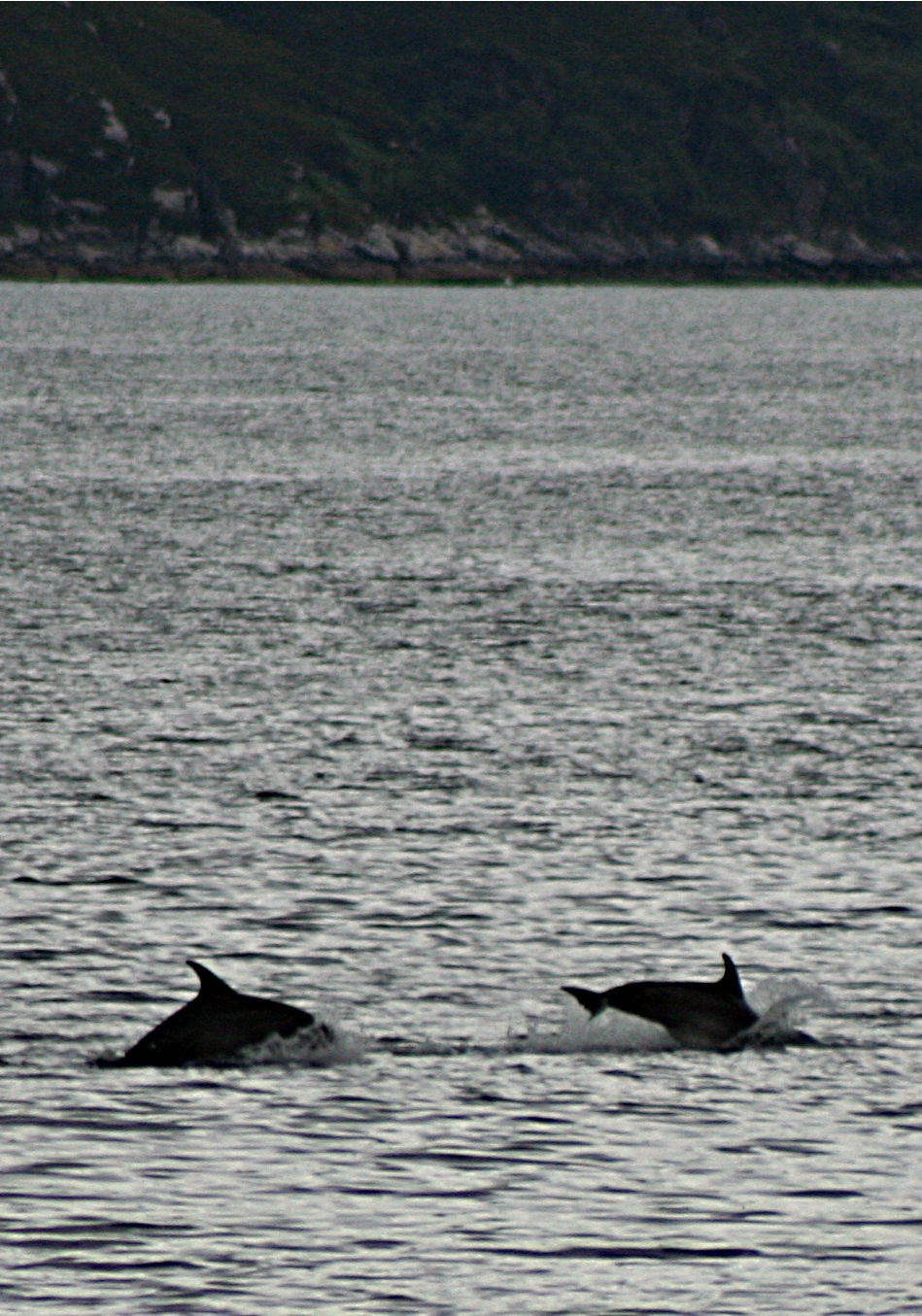 Dolphins in the west, at Inverie, Knoydart. Possibly common dolphins.