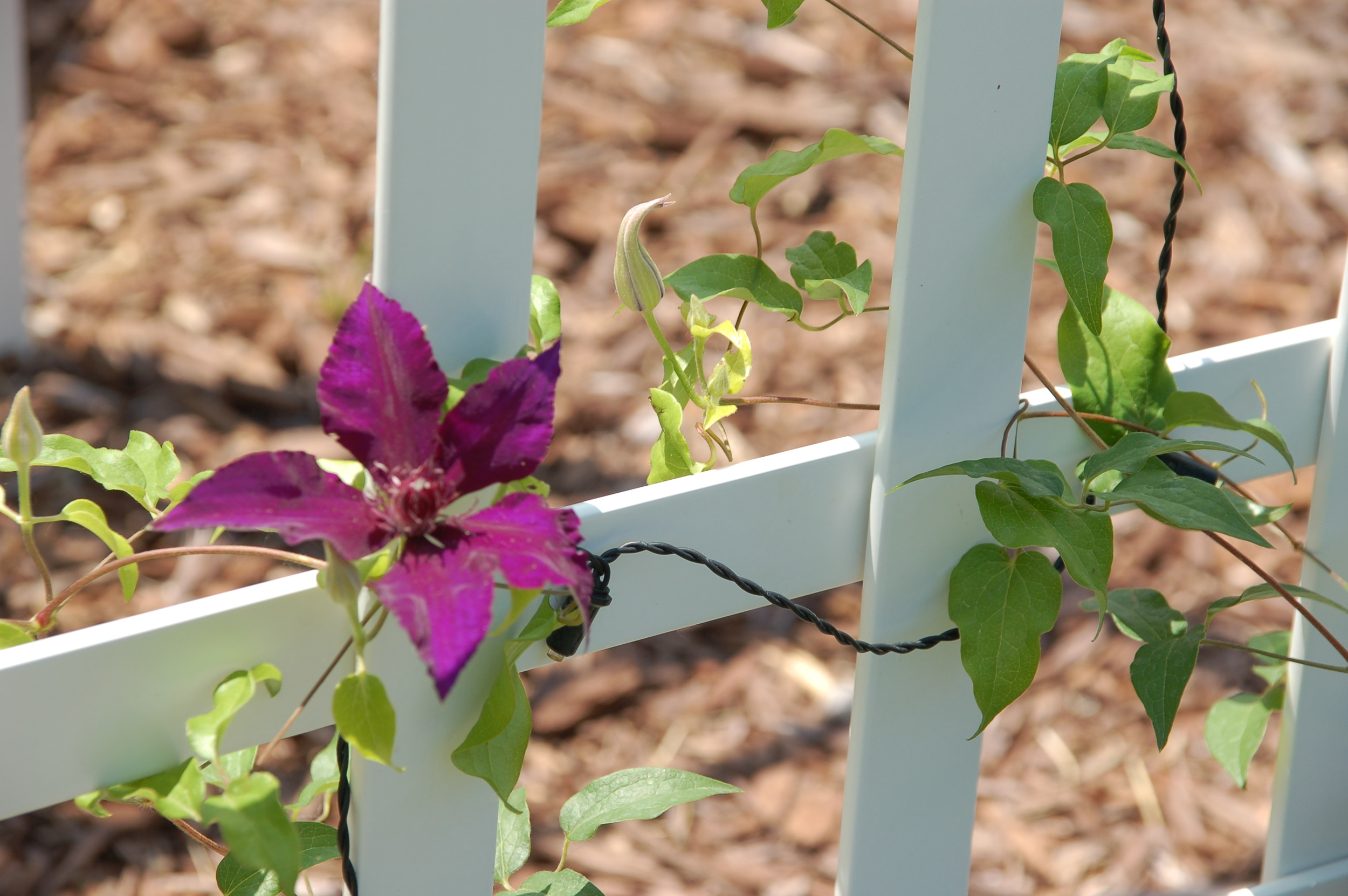 Clematis on a trellis.
