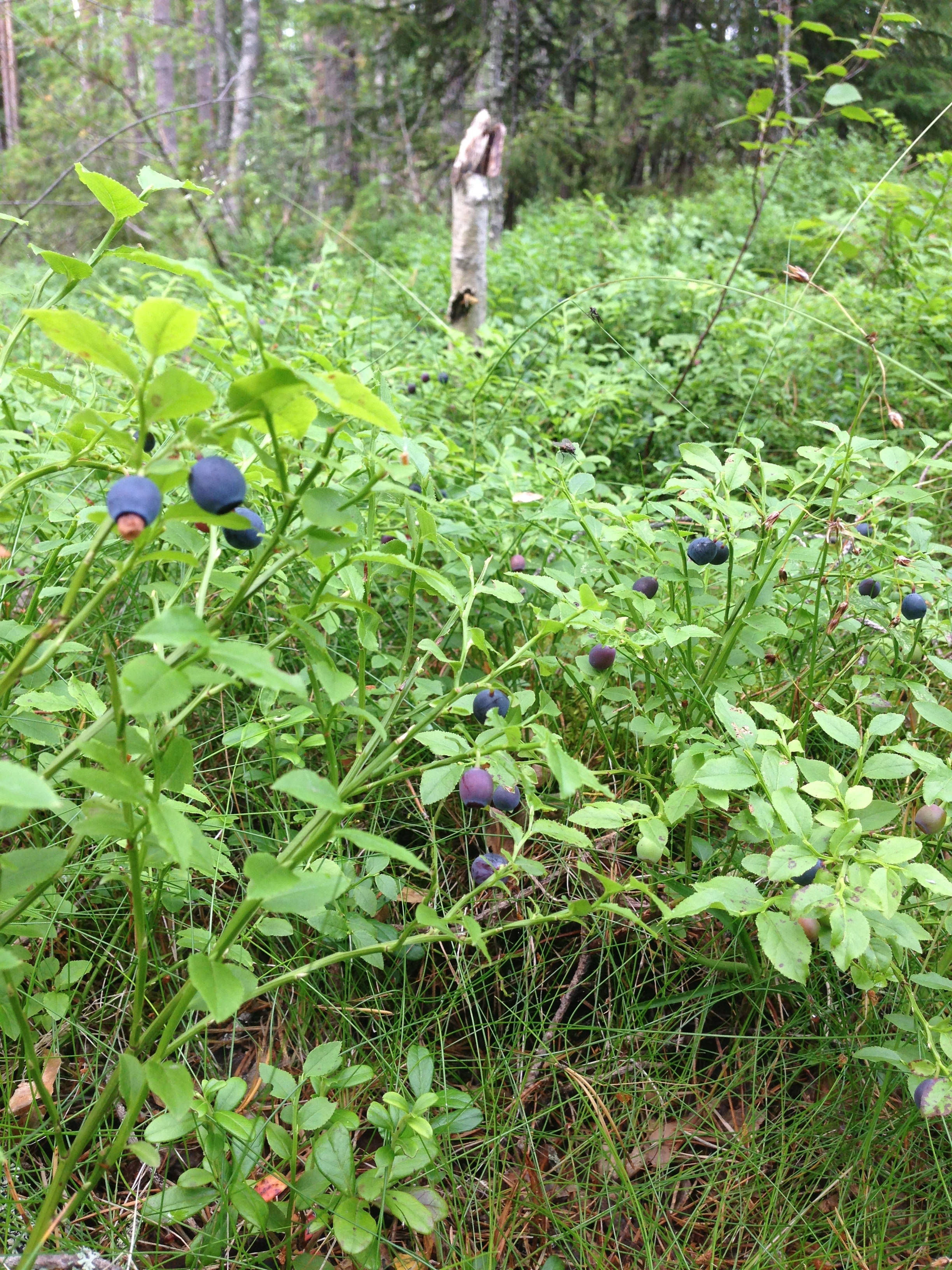 Blueberries outside our cabin door.