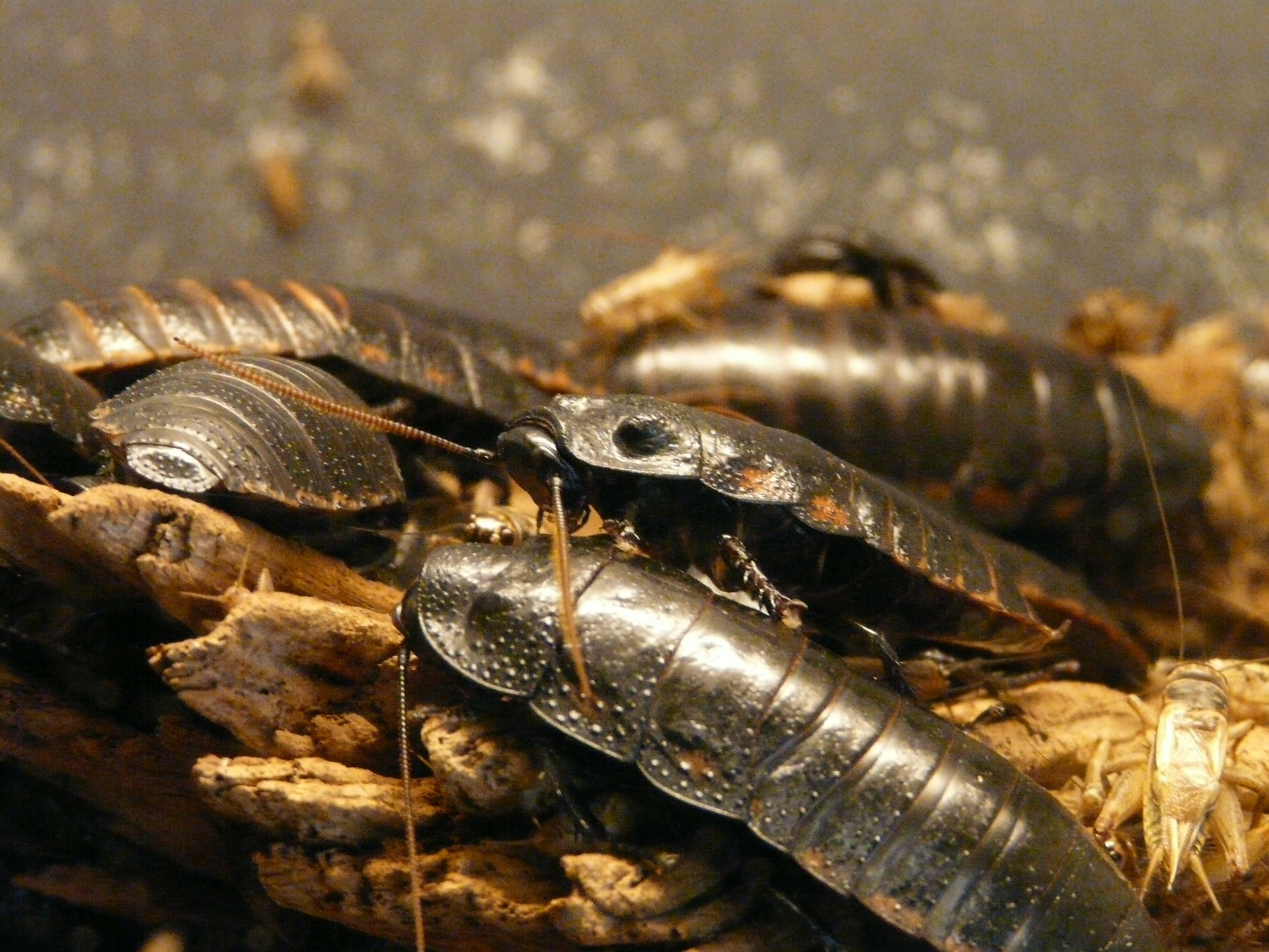giant-hissing-cockroach-77069_1920.jpg