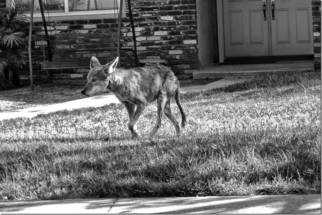 Coyote%2520In%2520Claremont%5b3%5d.jpg