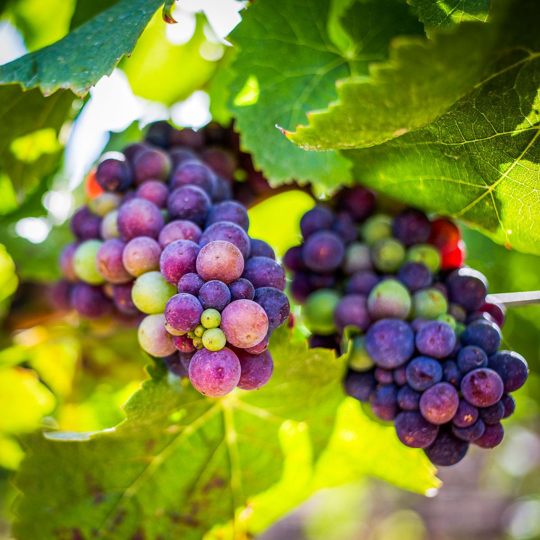 Grape-Clusters.jpg