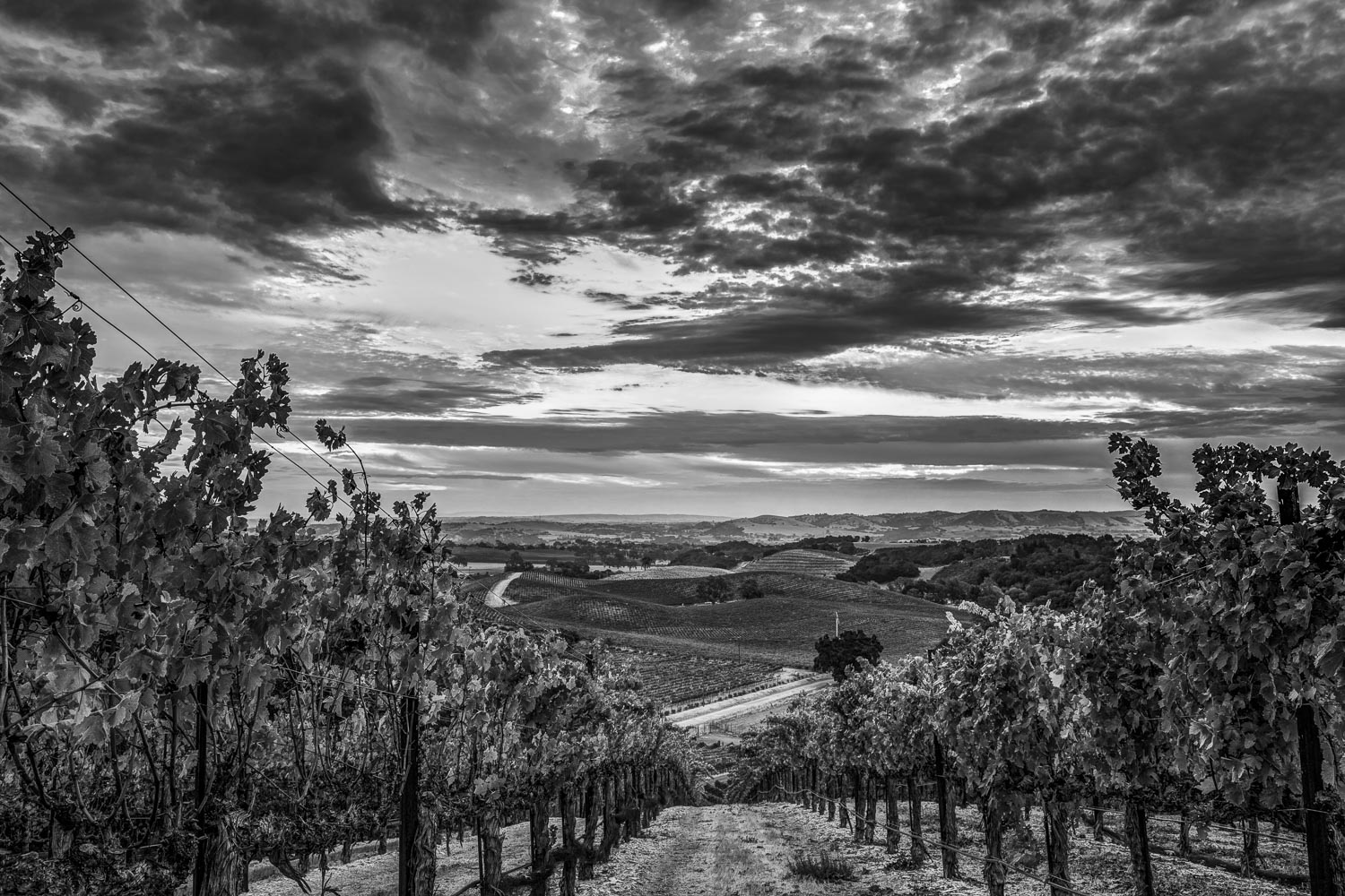 Vineyard BW.jpg