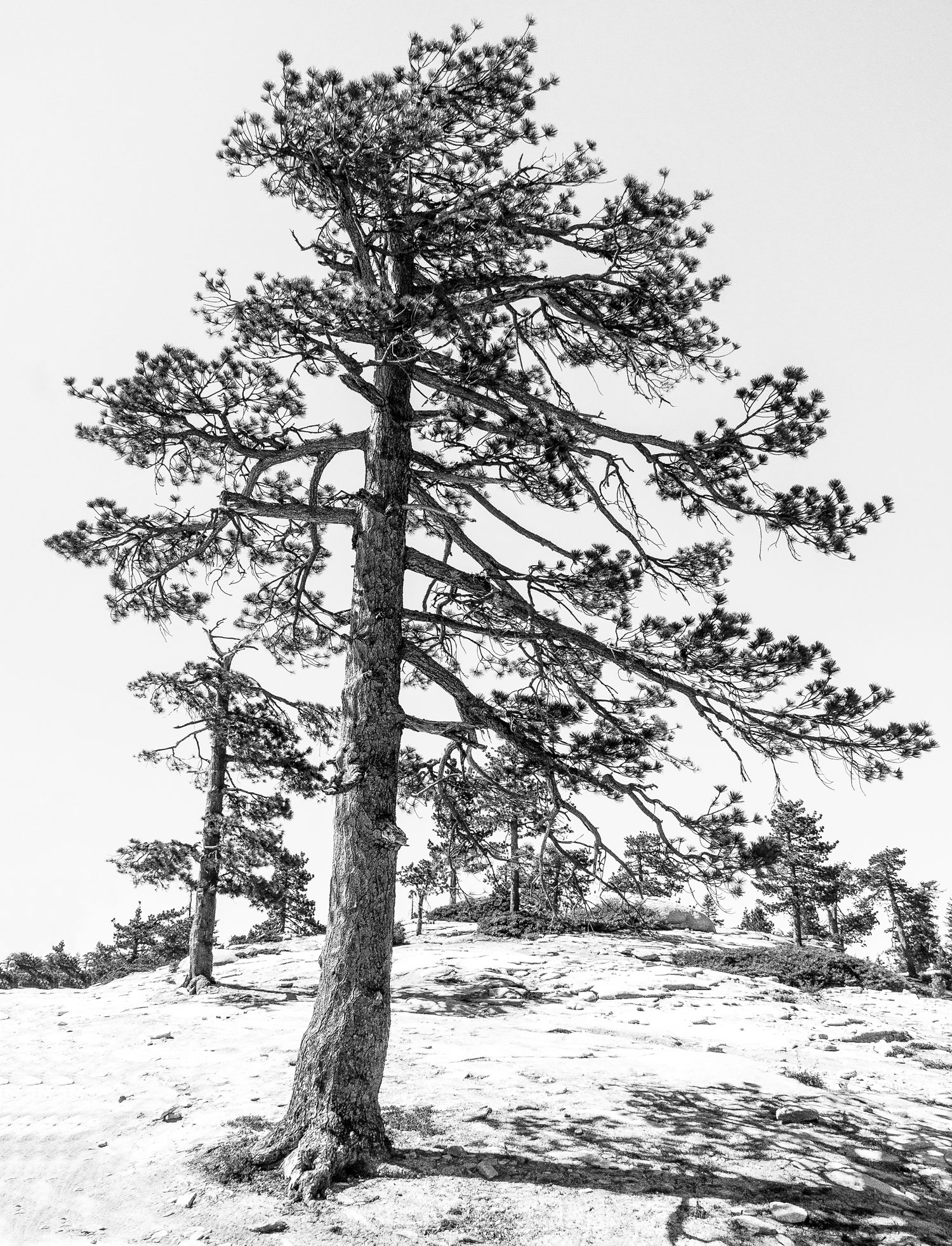 Bald-Mountain-Pines.jpg