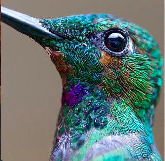 Colibri.png