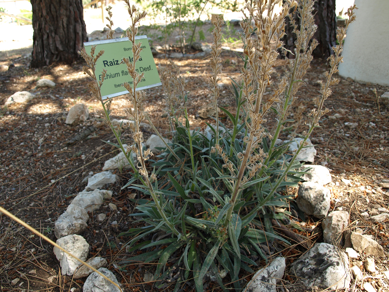 Raíz colorá (Echium flavum)
