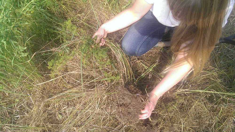 Harvesting lady's bedstraw (Galium verum) roots for red.