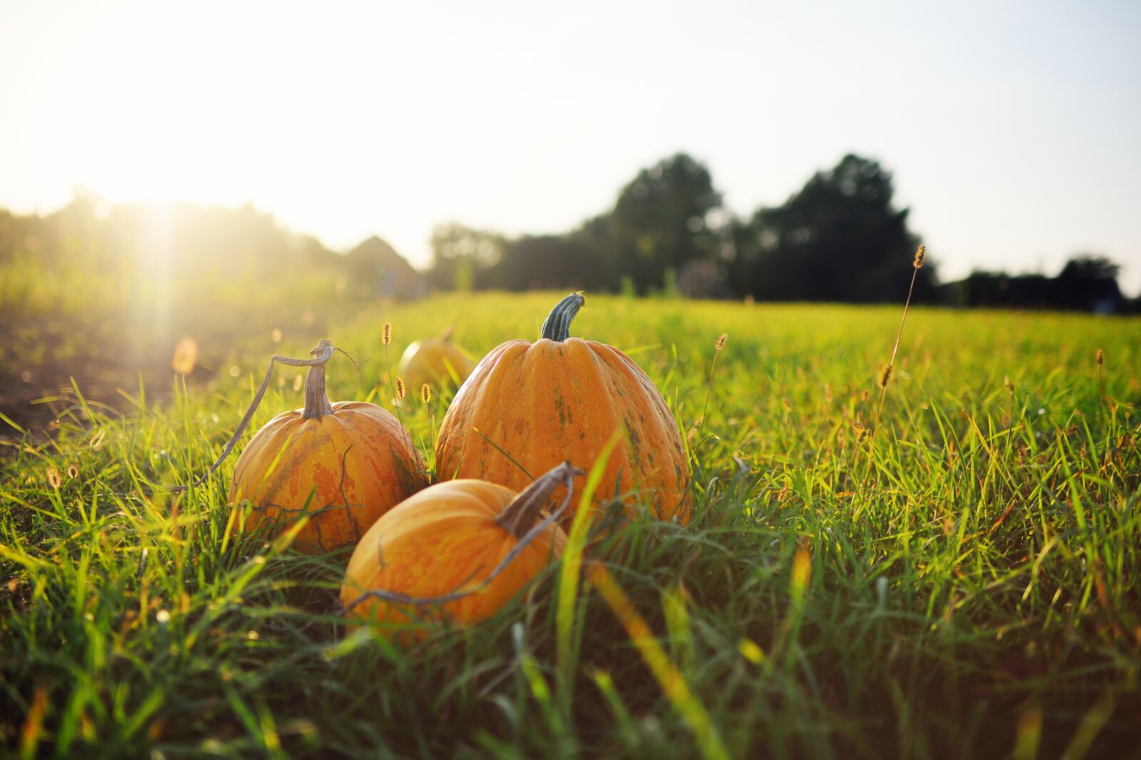 Pumpkins-in-field.jpg