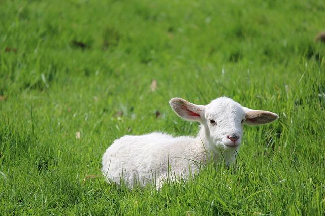 lamb-2855905_640.jpg