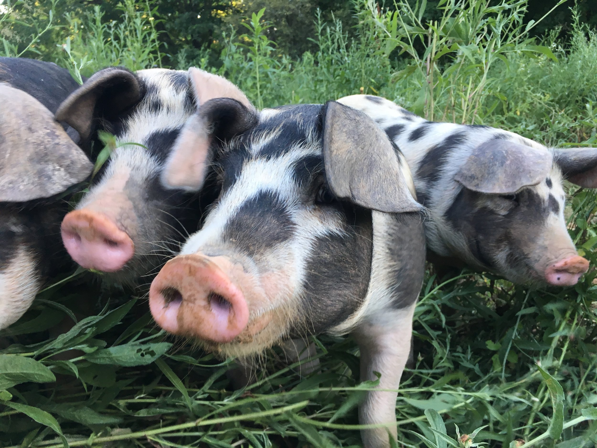 Our pigs are raised on pasture and in the woods where they lounge under oak trees (they love acorns!). In addition to nuts and fresh pasture, they receive non-GMO feed that is grown and milled locally in Hudson, NY. Our pigs are a mix of different heritage breeds, giving them excellent foraging abilities.