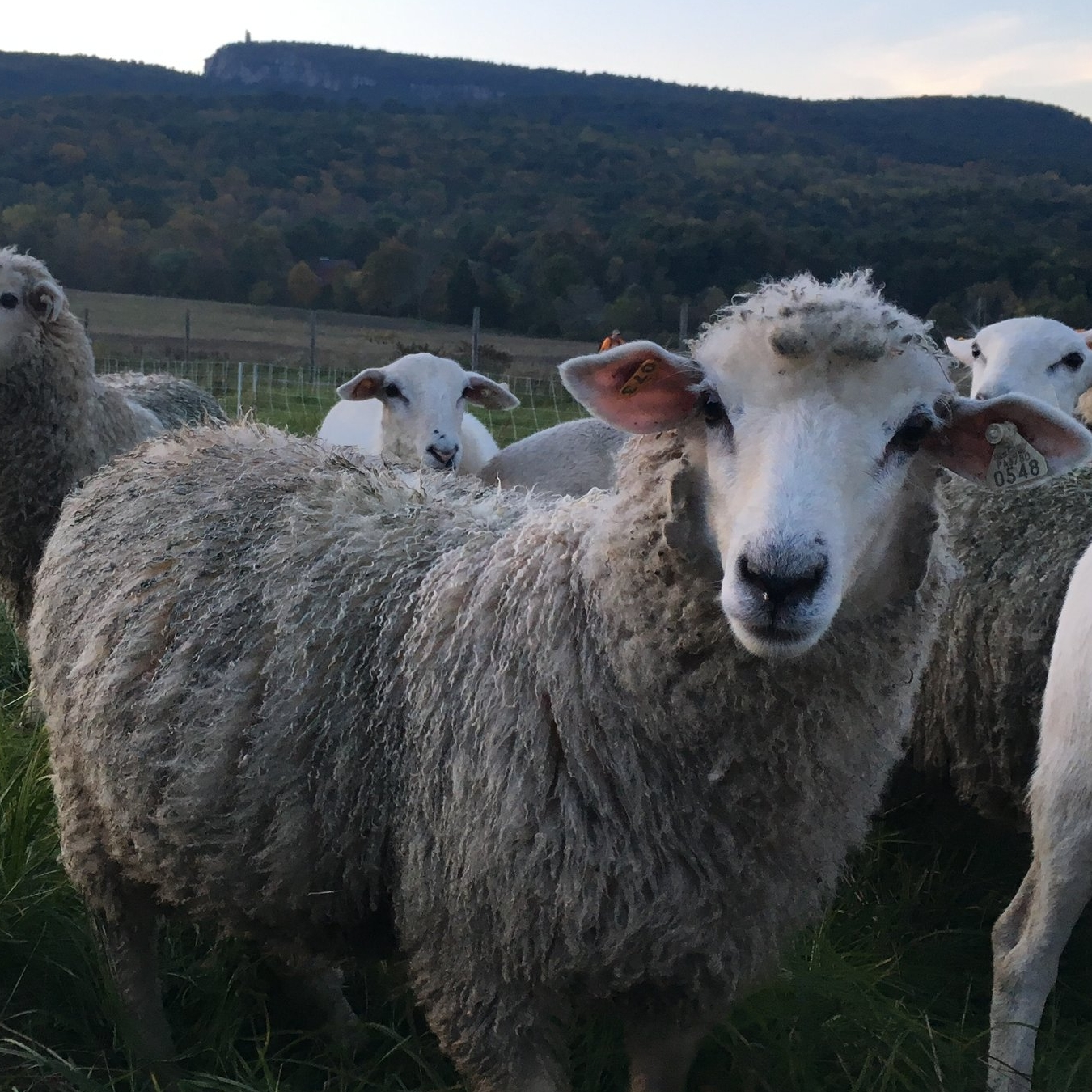 We raise 100% grass-fed and finished Katahdin and Coopworth sheep. The Coopworth sheep are a dual-purpose breed that produces incredibly beautiful wool in addition to tasty meat. Katahdin sheep, on the other hand, have hair (like goats) rather than wool. Katahdins do very well in our climate and are known for producing high quality, mild-flavored meat.