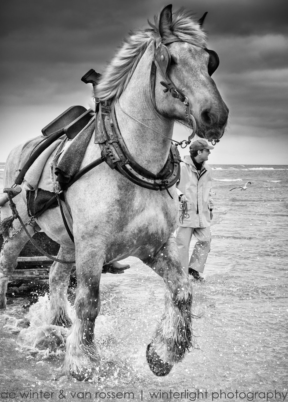 Shrimp Fishing on Horseback - Garnaalvissers Te Paard 2