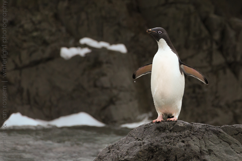 Adélie penguin on the rocks.