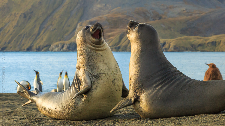 Elephant Seal Pups Playfighting