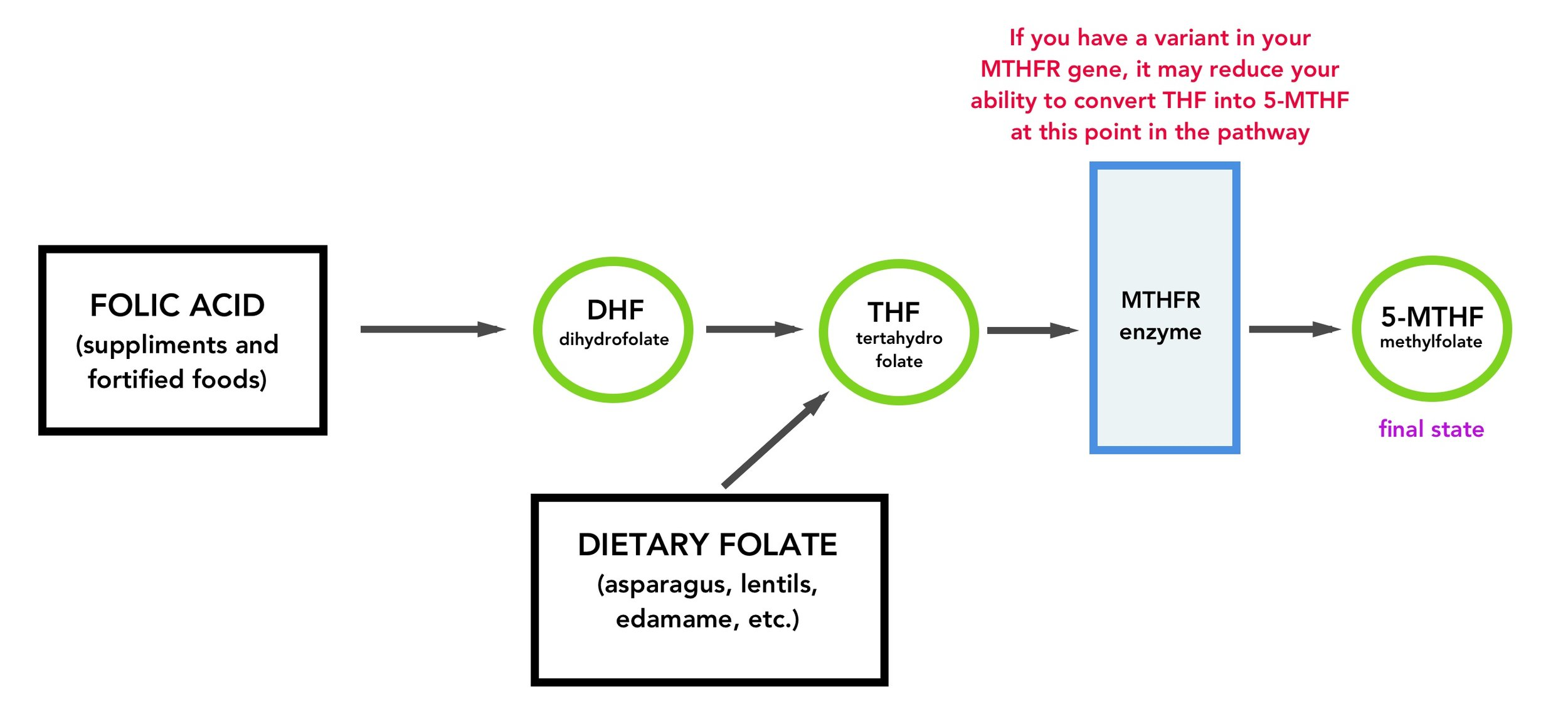 MTHFR mutation in the folate pathway