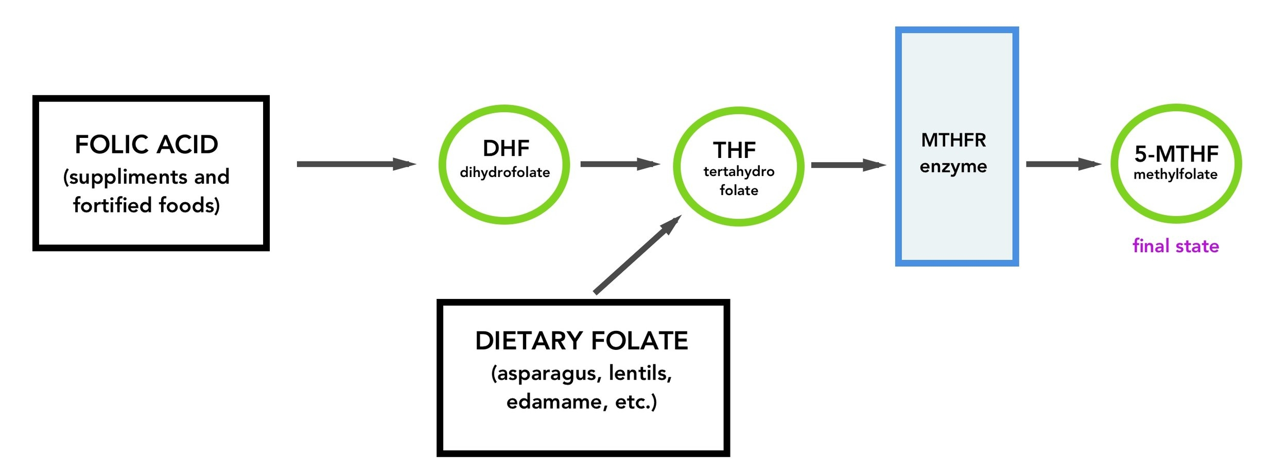 The 5-MTHF folate pathway