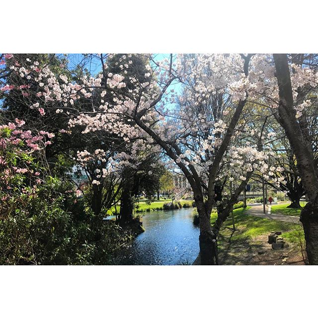 INNER-CITY SUNSHINE // Lunchtime strolls feeling pretty great at the mo 🌿🌸🏙🌞✔️ • • #thecollect #thecollectnz #lunchtimestrolls #theavon #cherryblossom #chch #cbd