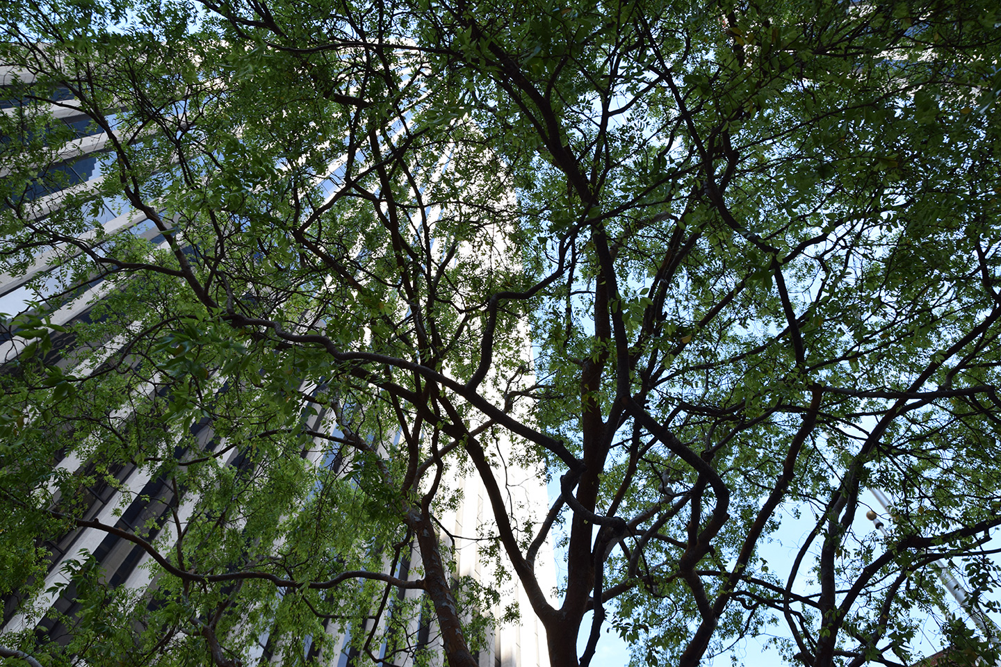 Chinese Elm dancing in the city