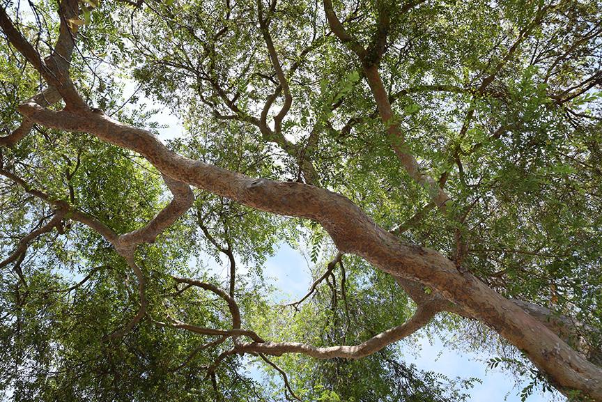 TreeAmour_No20ChineseElm3_sm.jpg