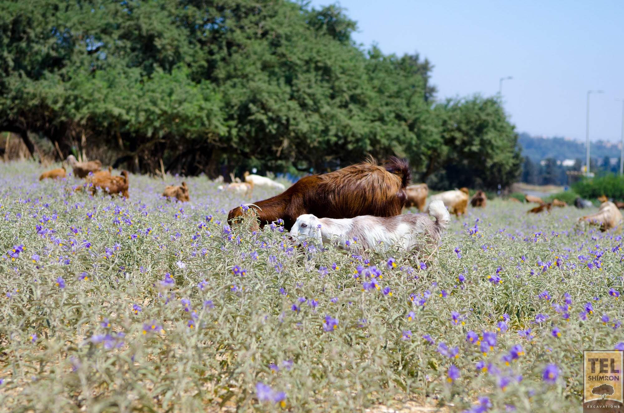 Goat herd eating its way across the site