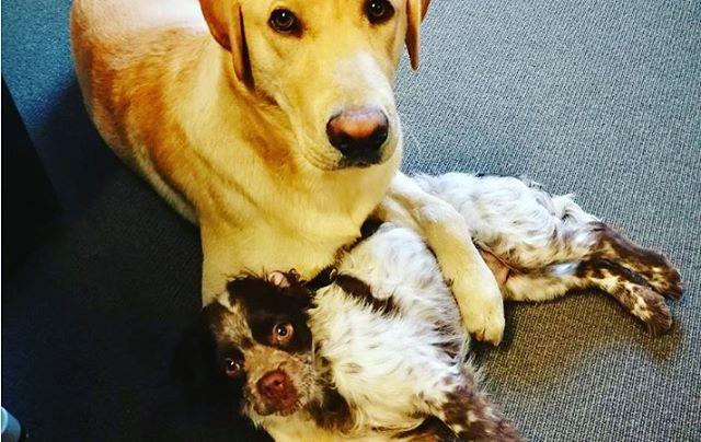 Våra kontorshundar har blivit riktigt odrägliga efter att ha blivit kändisar på nyteknik.se 😏 #kontorshundar #hybris #jobbapåPlanB #alltidframåtmedglädje