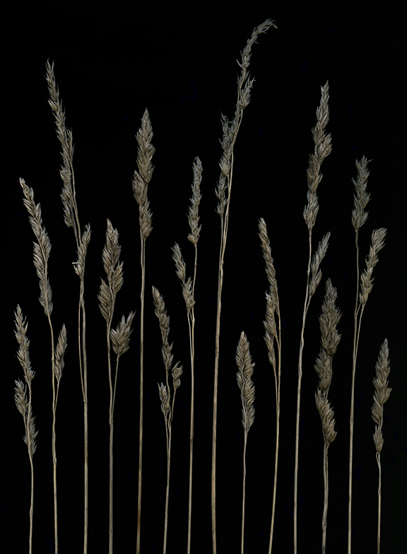 many grasses.jpg