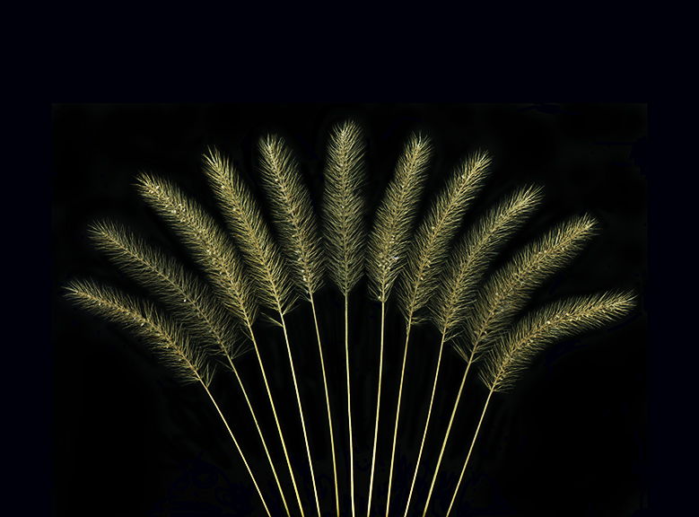 toothpick grasses copy.jpg
