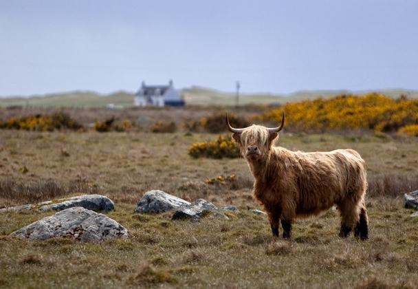highland_cow.jpg